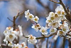 _DSC4697b (aeschylus18917) Tags: flower macro nature station japan   kuji daigo ibarakiken   ibarakiprefecture  kamiogawa danielruyle aeschylus18917 danruyle druyle daigomachi   kujigun    kujidistrict