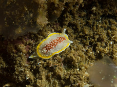 Onchidoris luteocincta (Stig Sarre) Tags: norway scuba diving olympus gon larvik inon onchidoris luteocincta ucl165 epl3 uwlh100