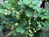 New Forest Acorns (Nigel_Brown) Tags: uk greatbritain lumix unitedkingdom panasonic acorn gb mast newforest stockphoto 2013 nigelbrown dmctz8 tz8 mastyear