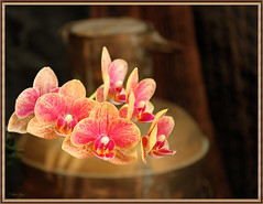 Orchids (Creative_Pixels (On/Off Busy)) Tags: pink flowers red orchid floral fleur yellow petals flora orchids vivid australia victoria orchidaceae valley yarra bouquet colourful fiori society patterned hybrids cultivars