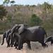 Kruger National Park - Elephant