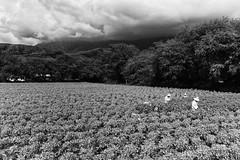 Harvest, Hawaii (David's_silvershots) Tags: leica usa hawaii oahu farm harvest plantation honolulu m9