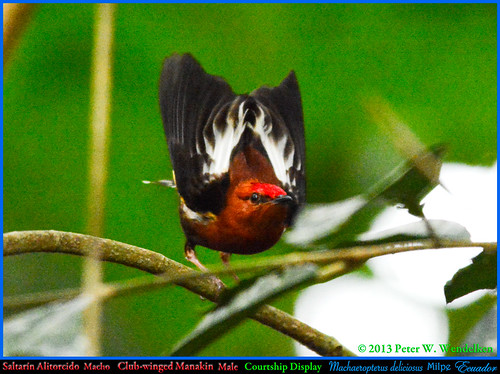 CLUB-WINGED MANAKIN Machaeropterus deliciosus MALE COURTSHIP DISPLAY Seen From in Front at the Milpe Bird Sanctuary, ECUADOR. Manakin Photo by Peter Wendelken.