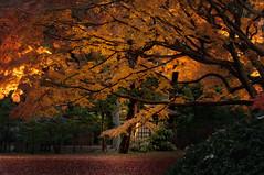 COLD AUTUMN (ajpscs) Tags: autumn leaves japan japanese tokyo leaf nikon foliage momiji  nippon    aki mapleleaves d300   rikugiengarden ajpscs tokyo japan  nightautumnatrikugiengarden