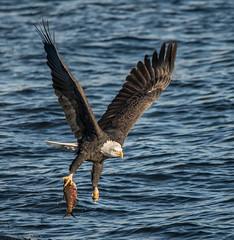 Eagle 54 (Jan Crites) Tags: bird nature river flying fishing nikon december eagle zoom wildlife flight baldeagle sigma iowa raptor mississippiriver americanbaldeagle d600 nationalsymbol leclaire 2013 birdofpray lockanddam14 150500mm