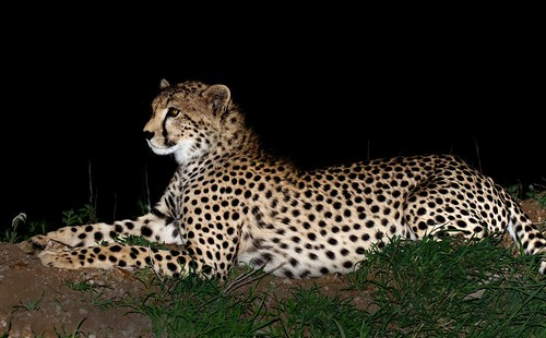 """safari tanzania cheetah at 3 feet from the car • <a style=""""font-size:0.8em;"""" href=""""http://www.flickr.com/photos/113706807@N08/11805458225/"""" target=""""_blank"""">View on Flickr</a>"""