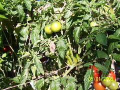 growing tomatoes in a 18 inch by 24 inch  square foot hydroponic system (square foot hydroponics) Tags: flowers plants orchid flower macro tree green garden gardening systems vegetable hydro growing sustainability floss hydroponics hydroponic hydroculture urbanagriculture hydropond wwwsqfoothydrocom squarefoothydroponics