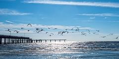 Seagulls by the Pier in Galveston, Texas (rebeccabphotos.com) Tags: ocean sun seagulls galveston beach sunshine birds pier flying sand waves texas tropical historical galvestonisland sunhine islandtime
