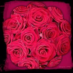 Life is ... (Grazissima) Tags: flowers roses scotland redrose 365 robertburns bloemen 2014 5365 iphone5 heritageofscotland iphoneography instaframe xnretro mrts365 2014grazissima