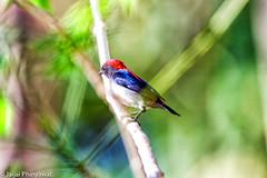 นกสีชมพูสวน (Scarlet-backed Flowerpecker)