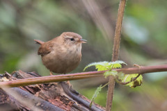 Wren-2540 (WendyCoops224) Tags: canon woodland eos small fast sing wren local fidget 70d 100400mml