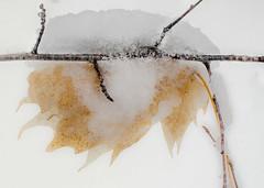 Beech Leaf (Jos Pockett) Tags: winter snow ontario canada tree leaf woods nikon beechleaf d7000