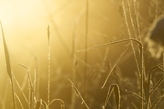 grass (kleelew) Tags: light grass sunrise swamp