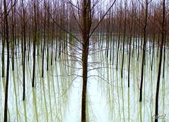 prospettiva (erman_53fotoclik) Tags: alberi foto fiume cielo po acqua rami scorcio legno prospettiva pioppi destro scatto ermanno pioppeto tronchi piantagione ripresa panasonik mygearandme mygearandmepremium erman53fotoclik