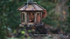 "Au jardin ""13/02/2014"" (Christian Labeaune) Tags: france sony au jardin bourgogne ecureuil chardonneret chtillonnais nexvg20eh"