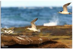 Runway is Full (Brett Huch Photography) Tags: ocean sea seascape beach nature water birds seascapes wildlife australia qld queensland aussie sunshinecoast caloundra