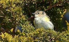 Yellow-rumped [Myrtle] Warbler