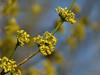 European Cornel - Gele Kornoelje (joeke pieters) Tags: yellow dogwood shrub geel struik cornusmas gelekornoelje europeancornel platinumheartaward panasonicdmcfz150 1140073