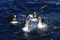 Buller's Mollymawk Albatross Thalassarche bulleri Forty-Fours Chatham Archipelago New Zealand