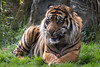 Tiger, Dublin Zoo. (StephenDevine) Tags: saved ireland wild dublin animal delete10 delete9 delete5 zoo delete2 scary delete6 delete7 tiger delete8 delete3 delete delete4