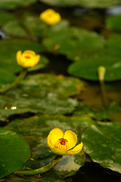 Yellow-Water-Lily-08147.jpg