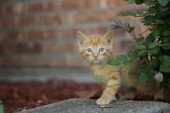 A peek.. (Rebecca O'Neal) Tags: cat blueeyes kittens blonde