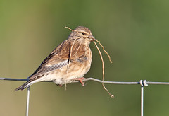 Linnet (Roger H3) Tags: bird grass nest lincolnshire finch linnet