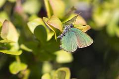 Grønnstjertvinge Callophrys rubi (Eivind Nielsen) Tags: lepidoptera rubi callophrys grønnstjertvinge