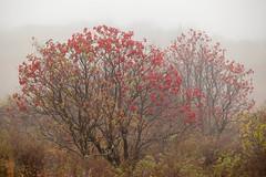 Crimson Fog (Melinda Ledsome) Tags: autumn trees vacation mist tree fall fog forest october westvirginia foilage spruceknob alleghenymountains monongahelanationalforest 2013 sprucemountain