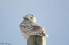 I see you... (PerfumeG2011 (off & on)) Tags: winter canada cold bird nature birds nikon qubec owl owls snowyowl mirabel buboscandiacus nikond7000 mirabelqubec lightroom5 officialbirdofqubec