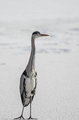 Gråhäger (Joakim Östberg) Tags: winter snow bird birds vinter stockholm solna fåglar fågel råstasjön fotosondag fs150208 farglost