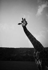 giraffe (uwaka) Tags: blackandwhite blancoynegro film 35mm lomo lca lomography pelicula giraffe analogue kodak400 jirafa analogico