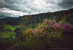 Dreaming (Muhannad Photography) Tags: flowers ireland dublin nature landscape dream sally canon350d 1855 wicklow  natgeo sallysgap