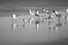 gulls, squawking, reflections, ocean, New Smyrna Beach, Florida, Nikon D40, dejur 135 mm f-2.8, 2.5.15 (steve aimone) Tags: ocean blackandwhite seagulls monochrome birds reflections gulls monochromatic atlanticocean primelens tonality patterning squawking nikond40 dejur135mmf28