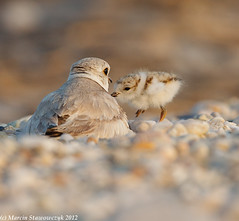 Coming to mommy (v4vodka) Tags: nature animal wildlife chick birdwatching plover pipingplover shorebird charadriusmelodus pipingploverchick birdbirding sieweczkablada