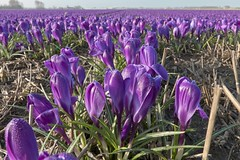 Purple is a feeling (dorrisd- unable to comment-sorry) Tags: morning flowers panorama dutch landscape outdoors dewdrops petals spring flora view purple nederland thenetherlands straw wideangle crocus number dew stems fields flowering depth ochtend croci endless perennials paars crocuses aafro zuidholland croco bulbfields voorhout bollenvelden canon1022mm southholland azafrn krokussen   img3299 canoneos50d dauwdruppels andeweg   dorrisd mieneke mienekeandewegvanrijn