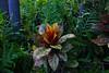 Kroton (Codiaeum variegatum) (betadecay2000) Tags: orange rot garden hotel laub pflanze motel australia resort gelb esplanade australien grün blätter bunt territory northernterritory australie poisen giftig botanik bunte tropen tropisch schön codiaeumvariegatum kroton theesplanade botanisch blütenpflanze wolfsmilch wolfsmilchgewächs bunteblätter palmscityresort buntepflanze gartentuin
