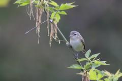 Warbling Vireo (Rita Wiskowski) Tags: tree bird wisconsin milwaukee lakepark songbird vireo warblingvireo warbling milwaukeecounty