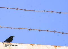 IDEA (haidarism (Ahmed Alhaidari)) Tags: macro bird nature animal wall insect idea wire bokeh outdoor depthoffield barbed macrophotography sonya65
