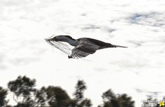 Little Pied Cormorant with nesting material (Merrillie) Tags: nature birds animals fauna flying nikon wildlife flight australia cormorant woywoy piedcormorant littlepiedcormorant d5500 nswcentralcoastnsw centralcoastnsw