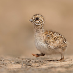 Pintail sandgrouse chick (معضاد) Tags: birds canon bin sultan qatar الخليج potographers سلطان قطر potographer فرخ معضاد العسيري القطا binsultan lesnafi المعاعي pintailsandgrousechick breedinginqatardesert
