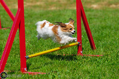 Wystawa_Świętojańska_2015-53 (Dominik Rząsa) Tags: show dog pet animal speed nikon outdoor agility tamron 70200 fci internationale fédération d300s cynologique
