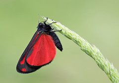 Cinnabar moth (Roger H3) Tags: insect moth lepidoptera cinnabar