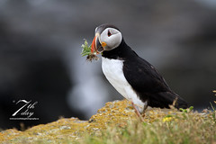 That's a mouthful. (Seventh day photography.ca) Tags: summer canada bird animal newfoundland wildlife puffin wildanimal 2015 atlanticpuffin auk