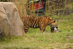 Islands at Chester Zoo (129) (rs1979) Tags: zoo islands tiger chester sumatrantiger chesterzoo