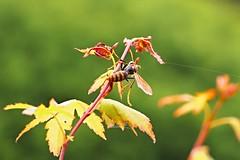 P5282155 (eriko_jpn) Tags: insect bee japanesemaple