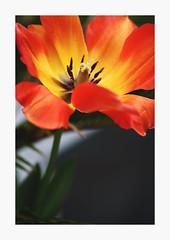 Burn (bnishimoto) Tags: flower color fuji bayarea fujifilm santanarow 60mm floraandfauna photoessay xt1 ontherow