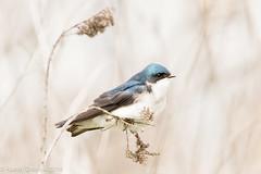 Tree Swallow in a field (rdroniuk) Tags: birds swallows oiseaux smallbirds treeswallow tachycinetabicolor passerines hirondellebicolore passereaux windemerebasin
