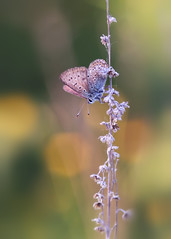 *** (Verlgof) Tags: macro nature butterfly bokeh insects plebejusargus