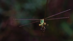 DSCF7088 (faki_) Tags: insect fuji dragonfly fujifilm 24 60 rovar xe1 szitakt fujinonxf60mmf24rmacro